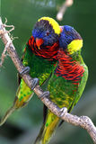 papegojor två arkivbild