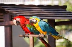 papegojor två Arkivfoto