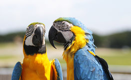 papegojor två Fotografering för Bildbyråer