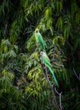 papegojor två Arkivbilder
