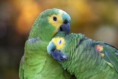 papegojor två Royaltyfri Fotografi