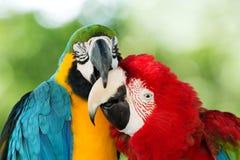 papegojor två Royaltyfria Bilder