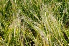Papel con el espacio para el texto, el contexto decorativo del trigo y el grano Imagen de archivo libre de regalías