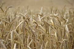 Papel con el espacio para el texto, el contexto decorativo del trigo y el grano fotografía de archivo
