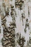 Papel de fundo da textura da casca de vidoeiro Fotos de Stock Royalty Free