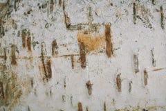 Papel de fundo da textura da casca de vidoeiro Imagens de Stock