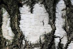 Papel de fundo natural da textura da casca de vidoeiro Imagem de Stock