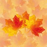 Papel de parede bonito com vermelho - bordo amarelo do outono Fotos de Stock