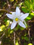 Papel de parede branco da flor do limão imagens de stock