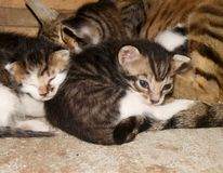 Papel de parede com o close up de um gato da mãe e do seu sono dos cachorrinhos imagens de stock royalty free