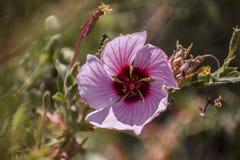 Papel de parede cor-de-rosa e roxo bonito da flor fotos de stock