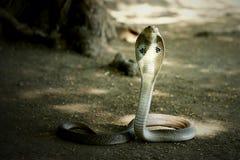 Papel de parede da serpente do veneno da cobra indiana imagens de stock royalty free