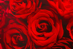 Papel de parede das rosas vermelhas Fotos de Stock Royalty Free