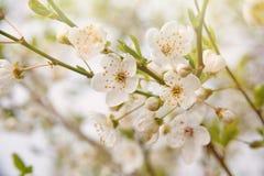 Papel de parede de florescência da árvore da mola com as flores brancas na luz do sol Imagem de Stock