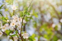 Papel de parede de florescência da árvore da mola com as flores brancas na luz do sol Fotos de Stock Royalty Free
