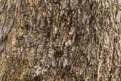 Papel de parede de madeira da textura ou da madeira Imagem de Stock Royalty Free
