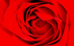 Papel de parede detalhado do fundo da rosa do vermelho fotografia de stock royalty free