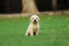 Papel de parede do cachorrinho de Labrador Imagem de Stock Royalty Free