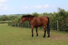 Papel de parede do cavalo HD de Brown imagens de stock