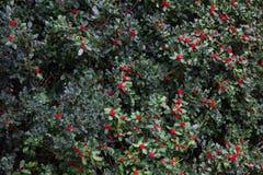 Papel de parede do fundo dos ramos do azevinho do Natal Foto de Stock Royalty Free