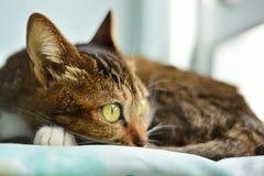 Papel de parede do gato Imagem de Stock Royalty Free