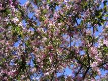 Papel de parede/fundo de florescência da árvore de maçã Fotografia de Stock Royalty Free