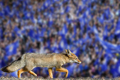 Papel de parede real do clube do futebol da cidade de leicester da raposa Fotografia de Stock