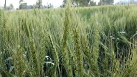 Papel de parede verde da natureza dos campos de trigo Fotografia de Stock Royalty Free