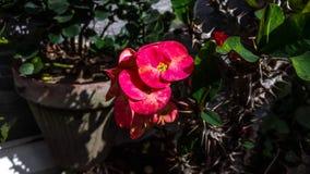 Papel de parede vermelho da natureza HD das flores bonitas Fotos de Stock