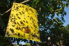 Papel pegajoso amarillo de la mosca con las porciones de insectos que cuelgan en una cereza fotografía de archivo