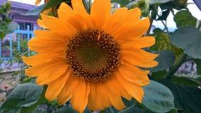 Papel pintado de la flor de Sun Fotografía de archivo