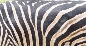 Papel pintado de la piel de la cebra Fotos de archivo libres de regalías