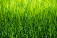 Papel pintado de la primavera Opinión la hierba verde del primer en la luz del sol Fondo con el espacio de la copia Concepto de l Fotografía de archivo libre de regalías