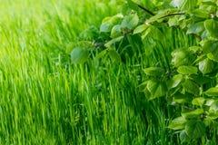 Papel pintado de la primavera Vista de la hierba verde del primer y de las hojas frescas en una rama en la luz del sol Fondo con  Imagen de archivo