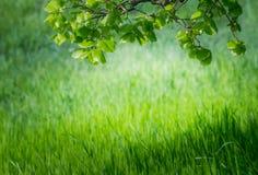 Papel pintado de la primavera Vista de la hierba verde del primer y de las hojas frescas en una rama en la luz del sol Fondo con  Foto de archivo libre de regalías