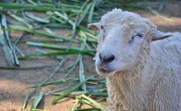 Papel pintado de las ovejas Imagen de archivo
