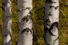 Papel pintado de los árboles de abedul Foto de archivo libre de regalías