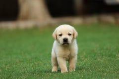 Papel pintado del perrito de Labrador Fotografía de archivo libre de regalías