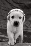 Papel pintado del perrito de Labrador Imagenes de archivo