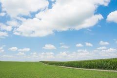 Papel pintado del verano del campo de maíz Foto de archivo