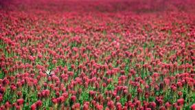 Papel pintado floreciente del fondo del campo del trébol rojo Imagenes de archivo