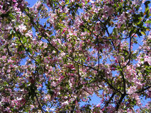 Papel pintado/fondo florecientes del manzano Fotografía de archivo libre de regalías
