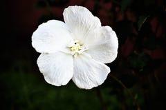 Papel pintado grande de la flor blanca fotos de archivo