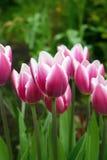 Papel pintado rosado de la macro de los tulipanes Imagen de archivo libre de regalías