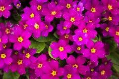 Papel pintado violeta rosado en su mesa Imagen de archivo libre de regalías