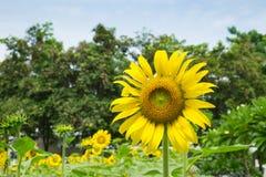 Papel pintado y fondo de la flor de Sun Foto de archivo libre de regalías