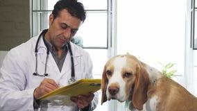 Papeles de relleno del veterinario profesional después del perrito de examen y adorable del beagle metrajes