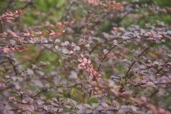 Papeles pintados naturales de las ramas hermosas de Borgoña Fotos de archivo libres de regalías