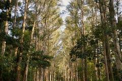 Paper bark tree Royalty Free Stock Photography