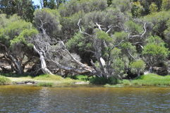 Paper bark tree western Australia. Paper bark tree on river bank western australia Stock Images